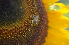 El primer del polen cubrió la abeja en el girasol amarillo Imagenes de archivo