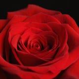 El primer del rojo se levantó. foto de archivo libre de regalías