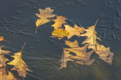 El primer del rubra rojo tallado de oro del quercus del roble del otoño se va debajo del hielo de la charca en jardín imagen de archivo