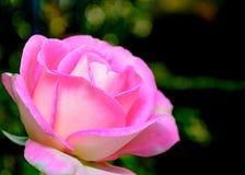 El primer del solo color de rosa se levantó Foto de archivo libre de regalías