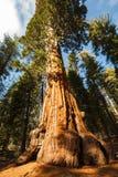 El primer del tronco de un árbol de la secoya gigante dappled por luz del sol imagen de archivo