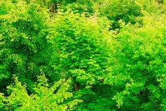 El primer del verde sale del árbol al aire libre Fondo de la naturaleza Imagen de archivo libre de regalías