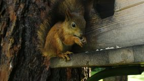 El primer divertido y lindo de la ardilla mordisca las nueces con las garras, sentándose en un árbol en el bosque en la popa almacen de metraje de vídeo