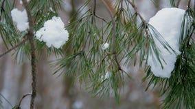 El primer, en el fondo del bosque del invierno, el pino que se muestran las agujas en las ramas del pino, la nieve miente almacen de metraje de vídeo