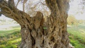 El primer en la corona de un olivo centenario cosechó desde arriba metrajes