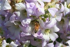 El primer en los nices florece la abeja de la pizca Fotografía de archivo libre de regalías