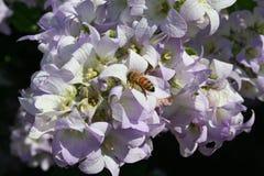 El primer en los nices florece la abeja de la pizca Imágenes de archivo libres de regalías