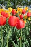 El primer en tulipán rojo y amarillo florece en un jardín Fotos de archivo libres de regalías