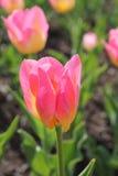 El primer en tulipán rosado y amarillo florece en un jardín Imagen de archivo libre de regalías