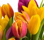 El primer en un fondo blanco, primavera del tulipán florece Imagen de archivo libre de regalías