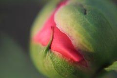 El primer extremo o la macro del brote de la peonía, casi alista para florecer Fotografía de archivo libre de regalías