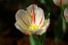 El primer, flor roja de la mezcla blanca del tulip?n est? floreciendo en el jard?n tan muy hermoso imagen de archivo