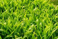 El primer joven de la hierba de la primavera, sombra verde clara llamó a Greenery, símbolo de nuevos principios, papel pintado na imagen de archivo libre de regalías