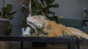 El primer el lagarto mira la cámara y abre su boca El concepto de fauna y de reptiles almacen de metraje de vídeo