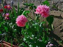 El primer las amapolas rosadas brillantes en primavera en los Balcanes Foto de archivo