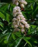 El primer las flores blancas brillantes de la castaña florece en primavera Fotografía de archivo
