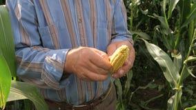 El primer las manos del ` s del granjero se comprueba para saber si hay madurez del grano del maíz en la mazorca almacen de metraje de vídeo