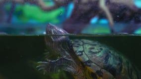 El primer, las tortugas de agua dulce nada en acuario almacen de video