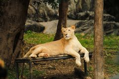 El primer el león femenino está mintiendo en la litera El fondo es bosque y montaña imagenes de archivo