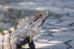 El primer, macro de un negro espinoso-ató la iguana, la iguana negra, o el ctenosaur negro Maya de Riviera, Cancun, México foto de archivo libre de regalías