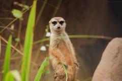 El primer Meerkat se está colocando vacante en el Forest Park fotos de archivo
