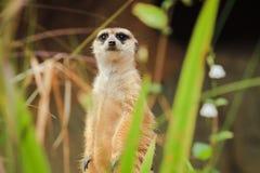 El primer Meerkat se está colocando vacante en el Forest Park fotos de archivo libres de regalías