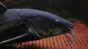 El primer, Phractocephalus Chemioliopterus, los pescados exóticos del som miente en la parte inferior del acuario almacen de metraje de vídeo