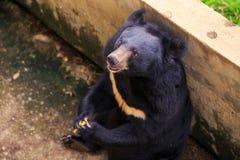 El primer que el oso negro se sienta en la tierra se inclina en la pared en parque zoológico Fotografía de archivo