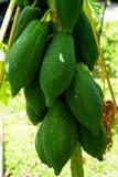 El primer que produce la papaya cruda verde da fruto en árbol de cosecha propia en el sol Foto de archivo