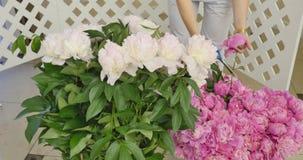 El primer, ramo de la flor en los rayos de la luz, rotación, la composición floral consiste en las rosas rosadas pión-formadas almacen de metraje de vídeo