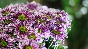El primer, ramo de la flor en los rayos de la luz, rotación, la composición floral consiste en saba púrpura del crisantemo metrajes