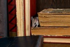 El primer el ratón joven estuvo al acecho entre los libros viejos en el estante en la biblioteca imagen de archivo
