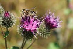 El primer rayó rotundata caucásico del Megachile de los himenópteros encendido adentro Fotografía de archivo