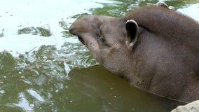 El primer, el tapir se baña en agua, en una charca en un día de verano caliente,