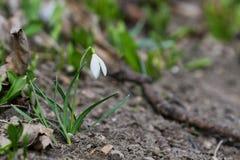 El primer tiró de los nivalis comunes frescos de Galanthus de los snowdrops que florecían en la primavera fotografía de archivo libre de regalías