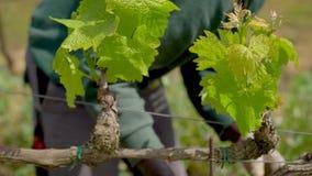 El primer tiró de un trabajador del viñedo que fijaba una rama de la vid con un nudo almacen de metraje de vídeo