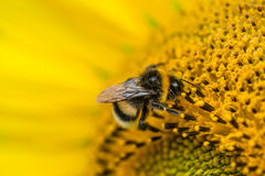 El primer tiró de una abeja en un girasol Imagenes de archivo