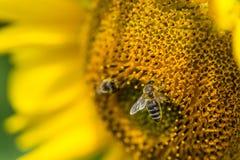 El primer tiró de una abeja en un girasol Foto de archivo libre de regalías