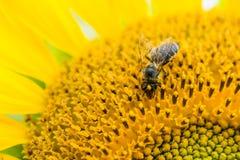 El primer tiró de una abeja en un girasol Imágenes de archivo libres de regalías