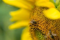 El primer tiró de una abeja en un girasol Fotos de archivo libres de regalías