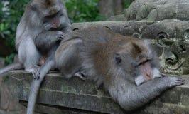 El primer tirado del dinero adulto prepara otro mono adulto en santuario del mono foto de archivo libre de regalías