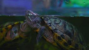 El primer, tortuga de agua dulce emergió en superficie en acuario almacen de video