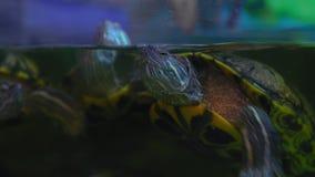 El primer, tortugas nada en el acuario y la mirada a través del vidrio almacen de metraje de vídeo