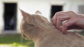 El primer una mano del ` s de la mujer de los ancianos frota ligeramente un gato del jengibre del pueblo almacen de metraje de vídeo