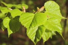 El primer verde de la primavera deja el abedul en un primer de la rama, con la falta de definición y el bokeh hermosos Fotos de archivo libres de regalías