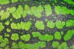 El primer verde maduro brillante de la sandía con descensos del agua chispeante es un fondo hermoso para su mesa Imágenes de archivo libres de regalías