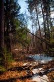 El principio de la primavera en el bosque ruso fotografía de archivo libre de regalías
