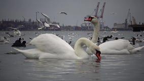 El problema ecológico es cisnes, patos y gaviotas blancos en las aguas del puerto almacen de metraje de vídeo