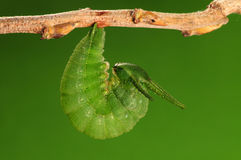 El proceso de 1/8) mariposa del pupation ( Imagenes de archivo