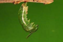 El proceso de 3/8) mariposa del pupation ( Foto de archivo